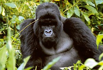 La dama de los gorilas for Gorilas en la niebla