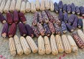 Usos del maíz