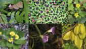 Oxalidaceae, una familia de plantas escasamente conocida con gran potencial utilitario.
