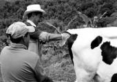 Situación de parasitosis en el ganado vacuno de Xico